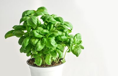 planta-aromática-maceta-albahaca