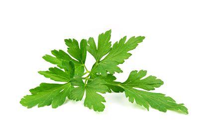 plantas-aromaticas-perejil