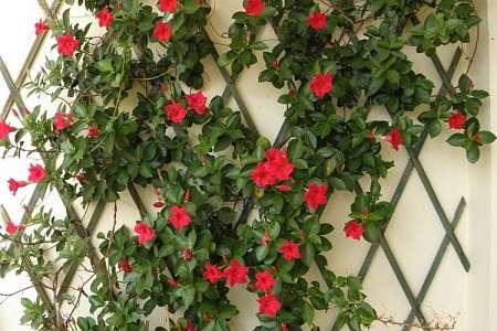 celosia-pared-flores-enredadera