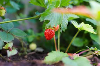 jardin-pequeño-huerto-fresas