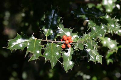 planta-invierno-acebo
