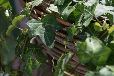 planta-invierno-hiedra